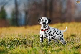 awesome dalmatian puppy garden