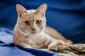 caring for a cat with asthma feline asthma blue cross