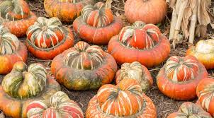 can you eat decorative gourds the answer to the question you