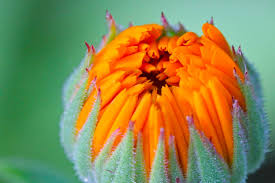 10 medicinal herbs for the garden chestnut of herbal medicine