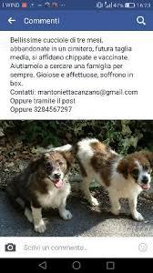 australian shepherd 3 mesi cucciole 3 mesi abbandonate in un cimitero animali in vendita a roma
