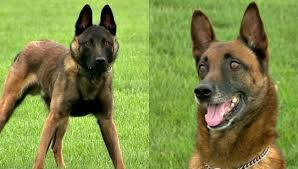belgian shepherd ottawa changing of the guard ottawa co sheriff reveals new k 9 woodtv com
