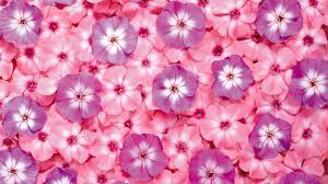 pink color images pink hd wallpaper and background photos 10579442 pink color backgrounds wallpaper high definition high quality