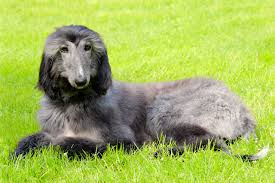 afghan hound of america afghan hound dog breed information pictures u0026 more