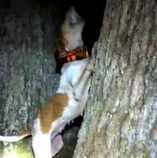 bluetick coonhound climbing tree 104570822 jpg