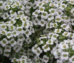alyssum flowers carpet of snow seeds lobularia maritima