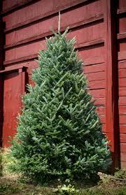 fraser fir trees gardening guide