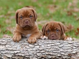 cute puppies 2 wallpapers dogue de bordeaux dog dogs puppies dogue de bordeaux hd