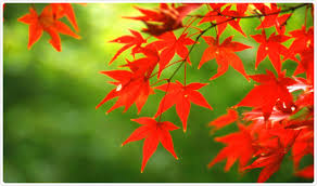 fun little facts about koyo autumn foliage special feature