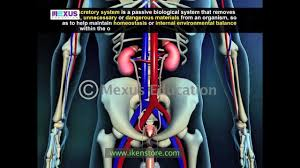 learn biology human excretory system youtube