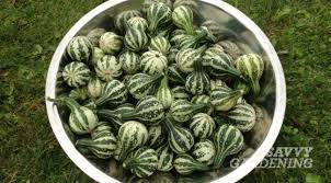growing gourds is