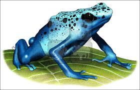 blue poison dart frog dendrobates azureus line art and full