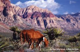 Nevada wildlife tours images The wild horse dilemma in las vegas spring mountain alliance jpg