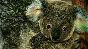 koala baby closeup joey ngsversion 1412637576651 adapt 1900 1 jpg