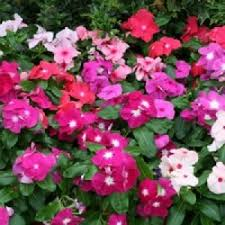 Vinca Flowers Sabellico Greenhouses U0026 Florist Local Grower Of Annuals