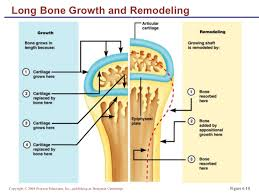 Normal Bone Anatomy And Physiology Lecture Bone Structure U0026 Markings 2clas