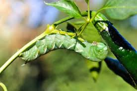 garden insect pest identification web sites