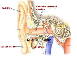 Ear Anatomy Pictures The Ear Anatomy Of The Neck