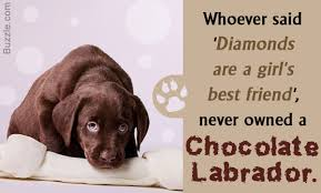 australian shepherd ugly stage meet the intelligent and friendly chocolate labradors