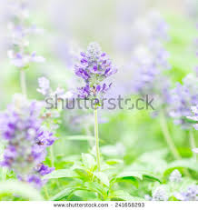 Salvia Flower Salvia Flowers Stock Images Royalty Free Images U0026 Vectors