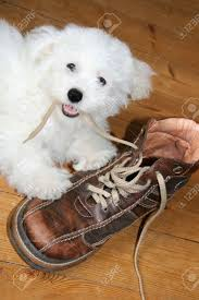 bichon frise funny naughty puppy eating shoelaces bichon frise stock photo picture