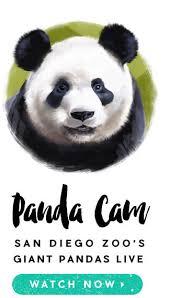 giant panda san diego zoo animals u0026 plants