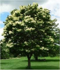 japanese tree lilac arboriculture
