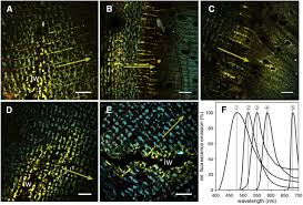 phloem as capacitor radial transfer of water into xylem of tree