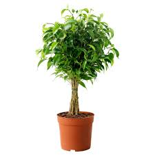 ficus benjamina natasja potteplante ikea stue pinterest