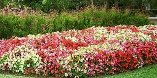 Indoor Home Decor Begonias Your Indoor Home Decor House Plants For You House