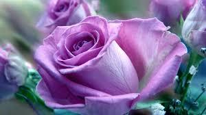 purple roses purple roses nature wallpapers hd wallpapers