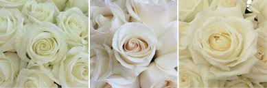 Meaning Of Pink Roses Flowers - rose color meanings from fiftyflowers com fiftyflowers the blog