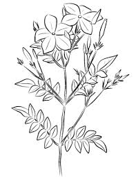 spanish jasmine jasminum grandiflorum coloring free