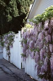 Trellis For Wisteria How Do You Get Wisteria To Grow On A Solid Fence Without A Trellis