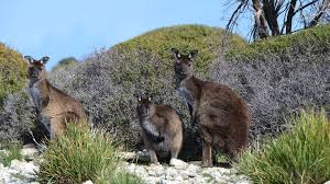 tours kangaroo island odysseys