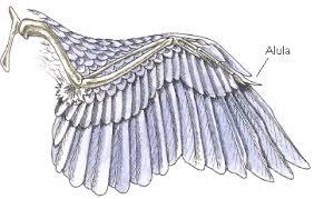 Bird Wing - arm to wing evolution from dinosaur to bird evolution
