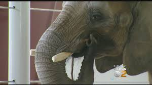 pittsburgh zoo elephant expecting baby cbs pittsburgh