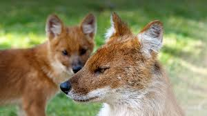 dhole san diego zoo animals u0026 plants
