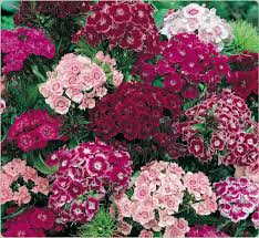 sweet william flowers dianthus sweet william these pretty guys showed up on my park