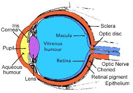 Eye Anatomy And Physiology Retinitis Pigmentosa Retina Australia Fighting Blindness