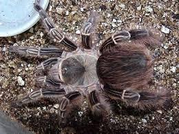 tarantulas in stock jurassic pet supplies
