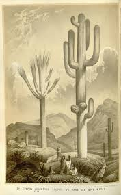 native sonoran desert plants saguaro carnegiea gigantea tree like cactus can grow to 70