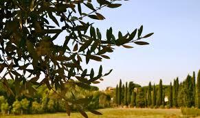 olive tree landscape unique landscape