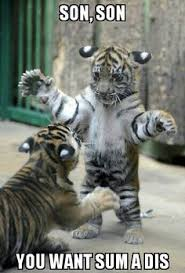 Funny Tiger Memes - funny tigers weird facts