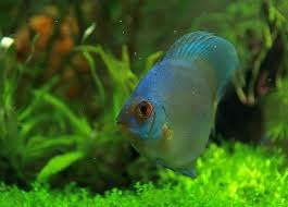 61 best fresh water fish images on fresh water