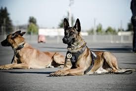 belgian shepherd k9 k 9 unit elk grove police department