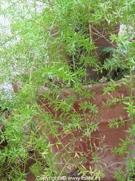 asparagus fern gardening foliage plant flower arrangement