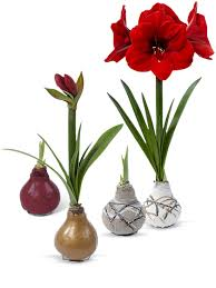 Amaryllis Flowers Red Amaryllis Easy Care Waxed Amaryllis Red Lion Amaryllis