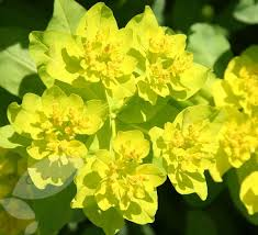 Lime Green Flowers - 32 best tropical colours planting ideas images on pinterest