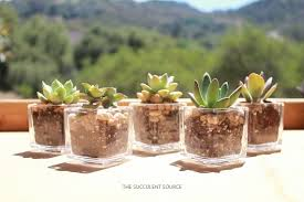 succulent wedding favors where to buy succulents for your wedding succulents and